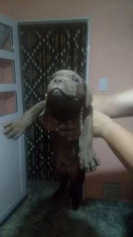 Vendo último pitbull macho