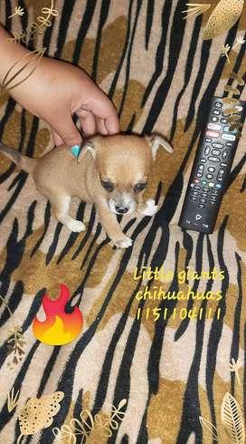 Chihuahua tamaño bolsillo machito. Genetica blue