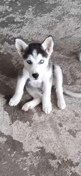 Cachorro husky 100% puros
