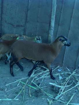 ovinos y caprinos