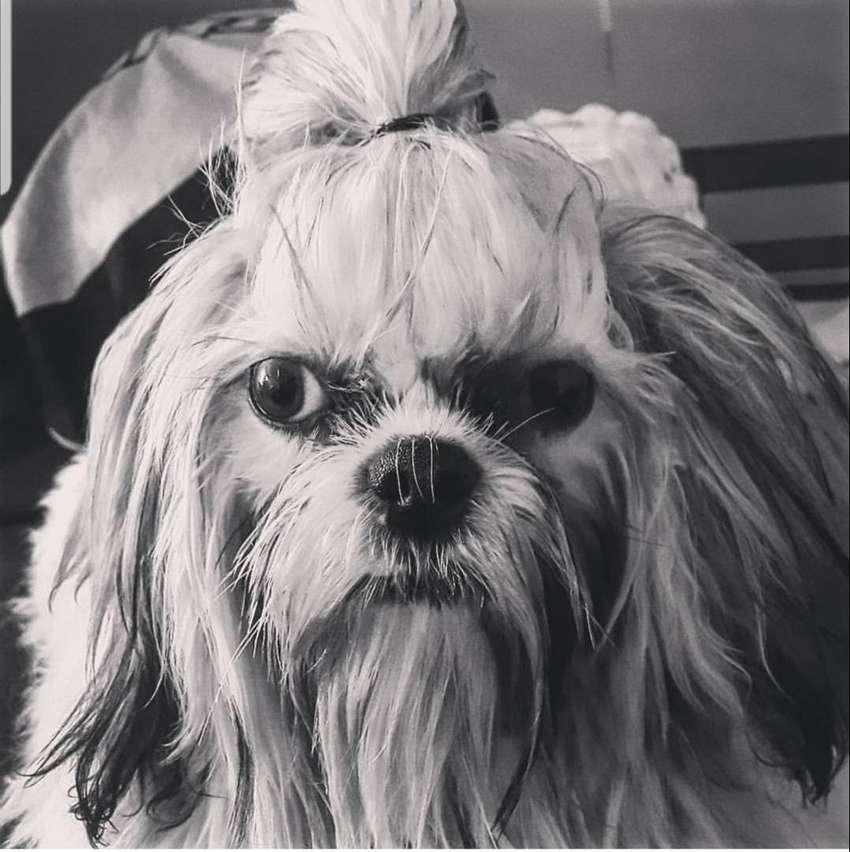 Busca perra en calor para mi perro SHIH TZU MINI 0