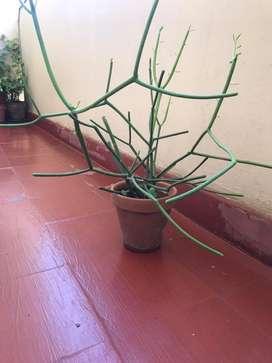 Planta Euphorbia Tirucalli - Árbol De Goma