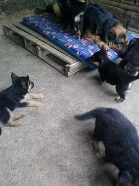 Se venden cachorros pastor colen