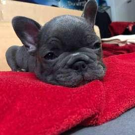 mascotas caninas de 48 dias certificadas en pureza, bulldog frances varidad de colores