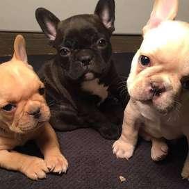 hermosos cachorritos bulldog frances entrega inmediata