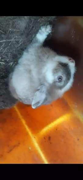 Vendo conejo de 5 meses cruze de cabeza de leon
