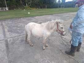 Pony macho apaloza