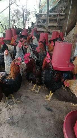 Se venden pollos criollos