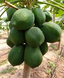 Mamón fruta verde para dulce o maduros para mermelada (carica papaya)