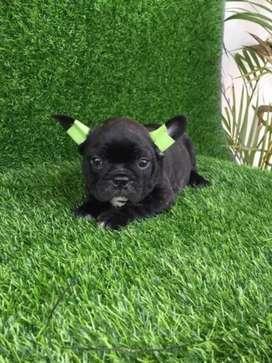 Venta de perritos raza Bulldog  francés hay negro fawn  entre otros disponibles