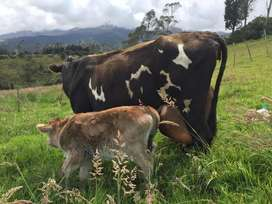 Terneros, toretes,vacas, vaconas y toros de raza Jersey y Brown Swiss.
