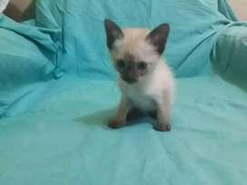 Hermosa gatito siames