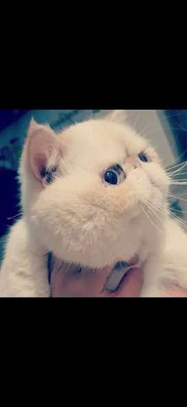 Gato perza exotico
