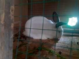 Venta de conejos raza nirmal ya tienes más  de 2 mese