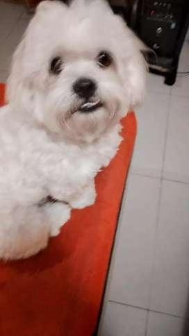 Mi cachorro raza Shih tzu