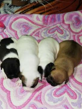 Hermosos Cachorros Bulldog Frances