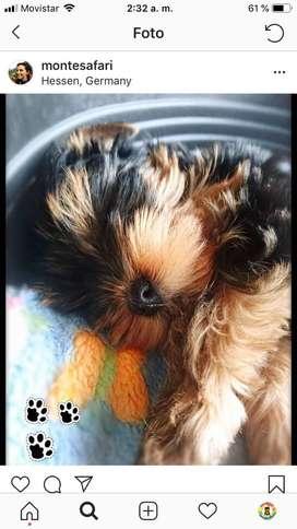 Perrita yorkshire terrier mini bogota super pequeña