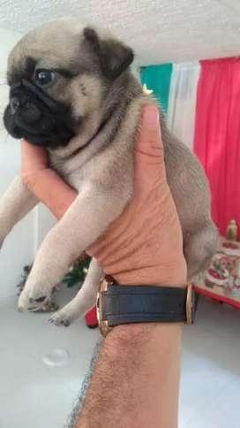 Se venden Cachorros Pug