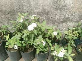 Vendo plantines solo de durantas y lantanas cn flores