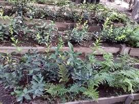 Se vende helechos cuero y rusco plantas