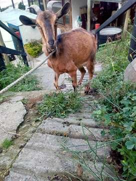 Vendo hermosa cabra lechera