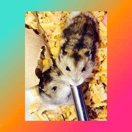 Hamsters Rusos