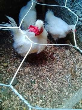 Se vende gallinas y gallo  japones