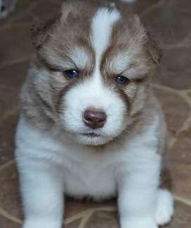 Garantizados husky siberianos ojos claros