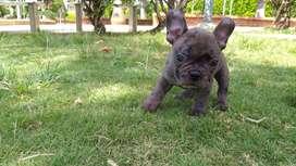 Cachorros bulldog frances en venta