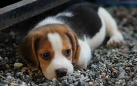 Exclusivos beagles teicolor tamaño bajitos