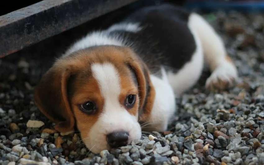 Exclusivos beagles teicolor tamaño bajitos 0