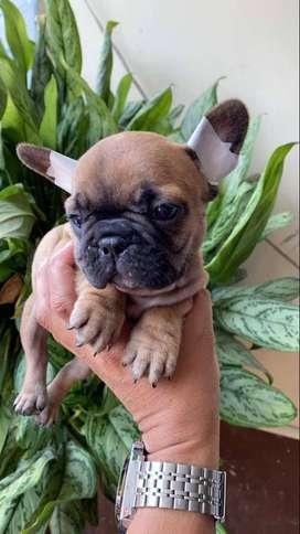 bulldog frances seleccionados 50 dias de nacido