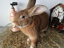 Conejos Nueva Zelanda rojo