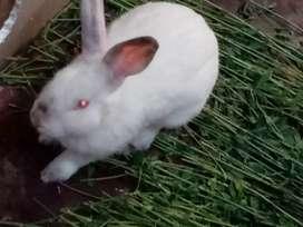 Conejos grandes y pequeños