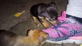 Vendo cachorros minipincher
