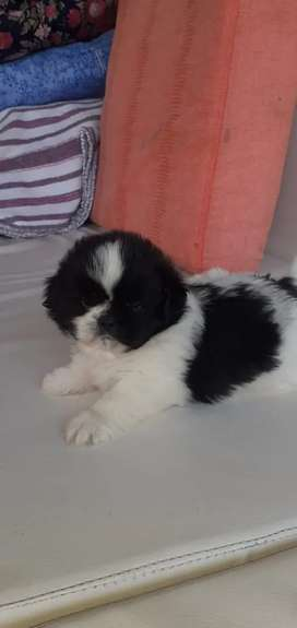 Hermoso cachorro shitzu