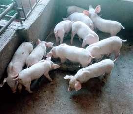 Venta cerdos