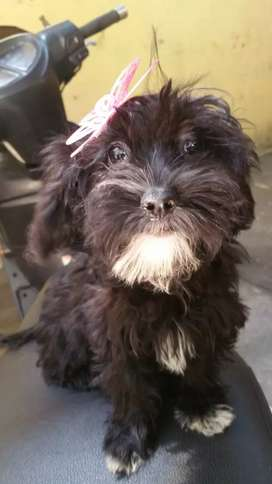 Vendo cachorra French Poodle
