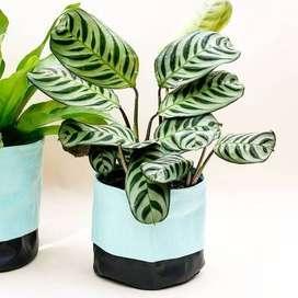Envio e plantas a domicilio en buenos aires