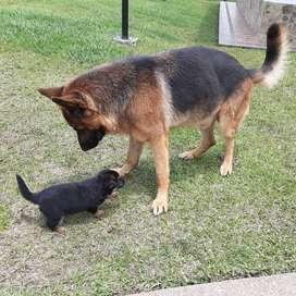 Vendo cachorros pastor aleman de 2 meses
