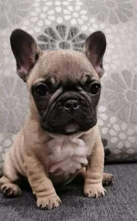 Venta de linda bulldog francés