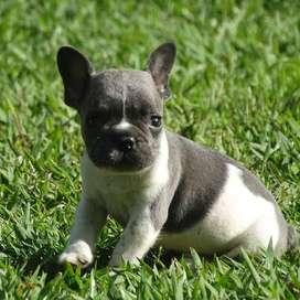 lindos caninos bulldog frances de 49 dias certificados en pureza
