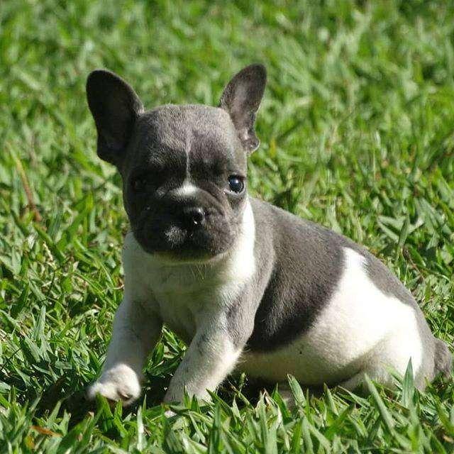 lindos caninos bulldog frances de 49 dias certificados en pureza 0