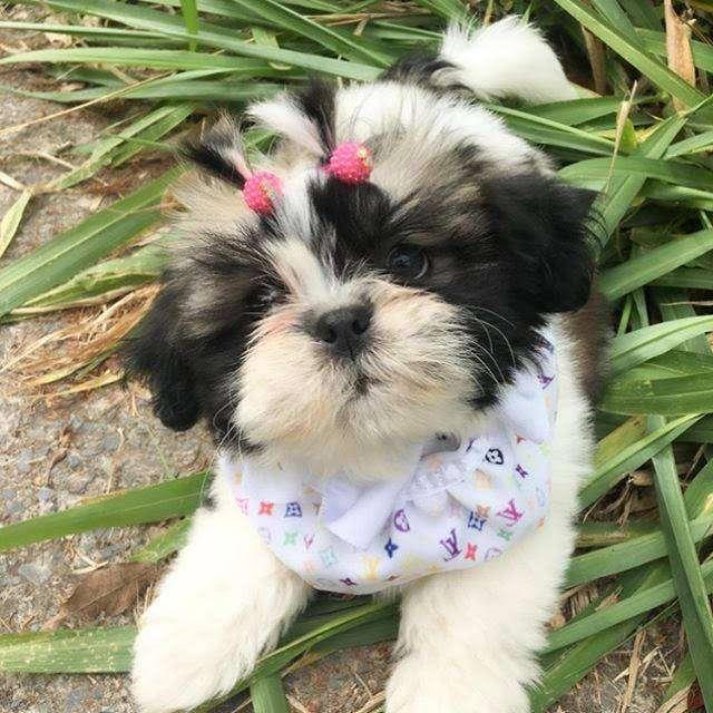 shitzu amorosos y cariñosos cachorros 56 dias