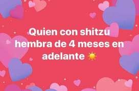Shitzu Hembra 4 meses