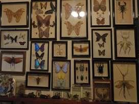 Colección De Cuadros De Mariposas Del Mundo