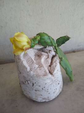 esquejes higo tuna otro cactus y palmeras semillas