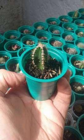 Docena de cactus a $15mil