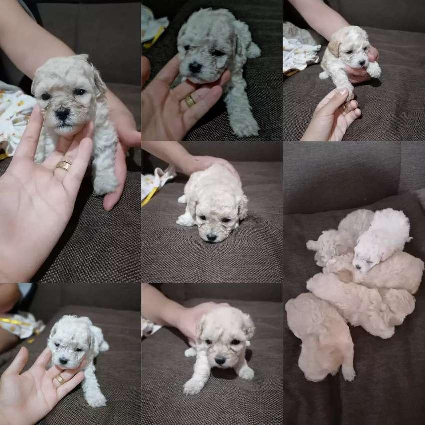 Vendo lindos poodle toy 0