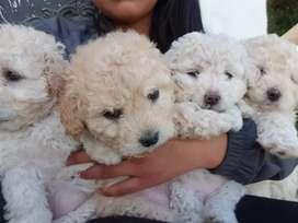 Cachorros raza Fench